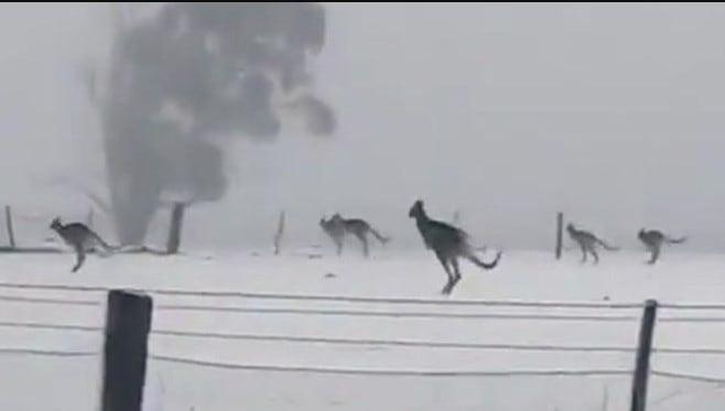 Leaping scenes of kangaroos