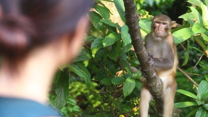 human heart becomes a monkey