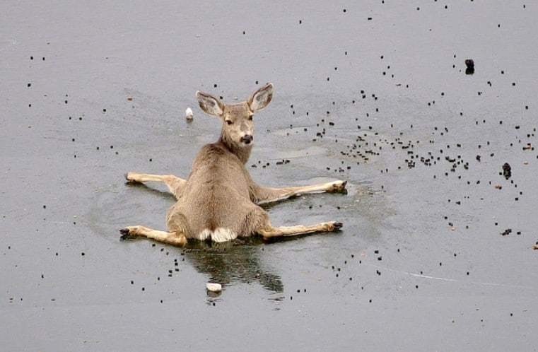 helpless deer